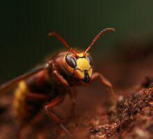 Hornet 3 by fandango23