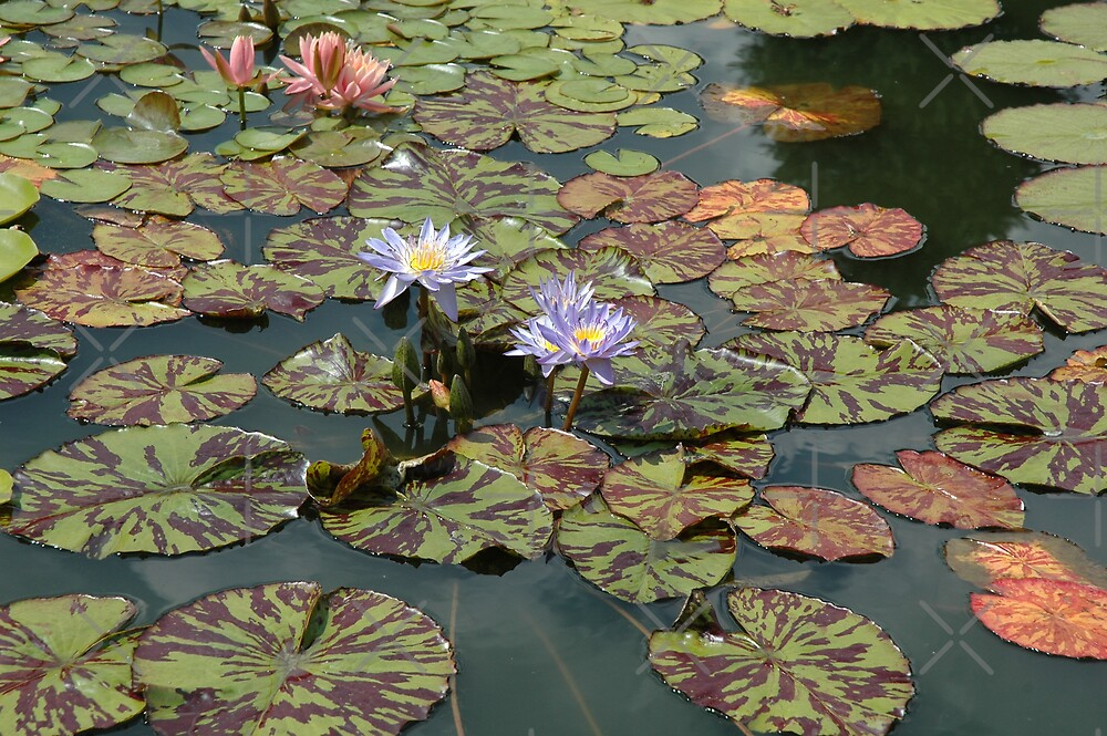 Water Lilies by Holly Werner