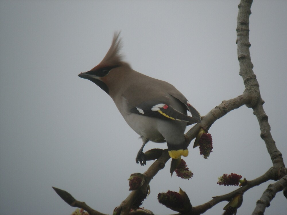 Wacky Waxwing by Monster