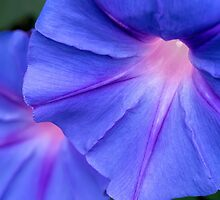 Morning glory twins by Celeste Mookherjee