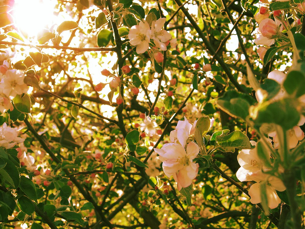 Flowering Crab Tree by kari
