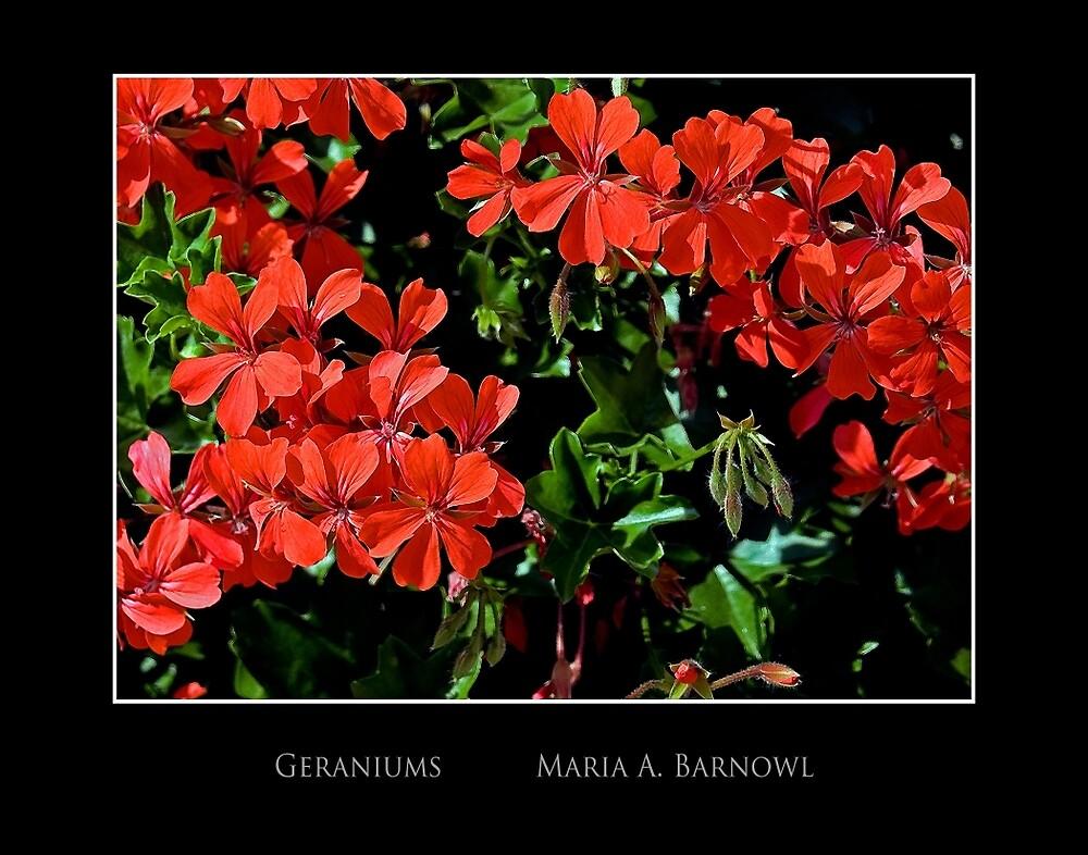 Geraniums - Cool Stuff by Maria A. Barnowl