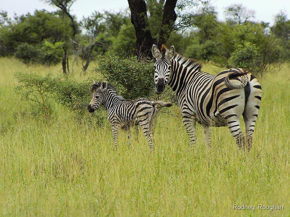 Zebras by Rodney  Roughan