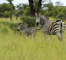 Zebras by Rodney  Roughan