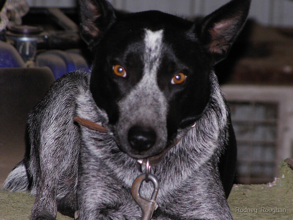 cattle dog resting by Rodney  Roughan