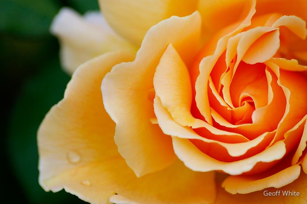 Peach Rose 2 by Geoff White