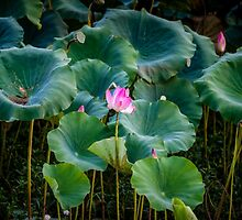 Water Lilies by Russell Charters
