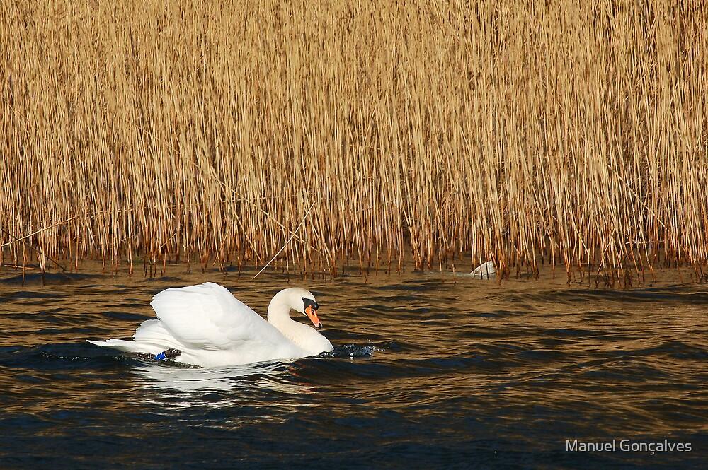 Swan by Manuel Gonçalves