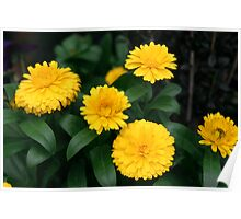 Yellow Chrysanthemum III Poster