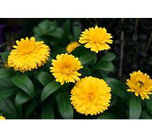 Yellow Chrysanthemum III Photographic Print