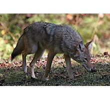 Coyote Photographic Print