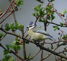 Blue Tit by Monster