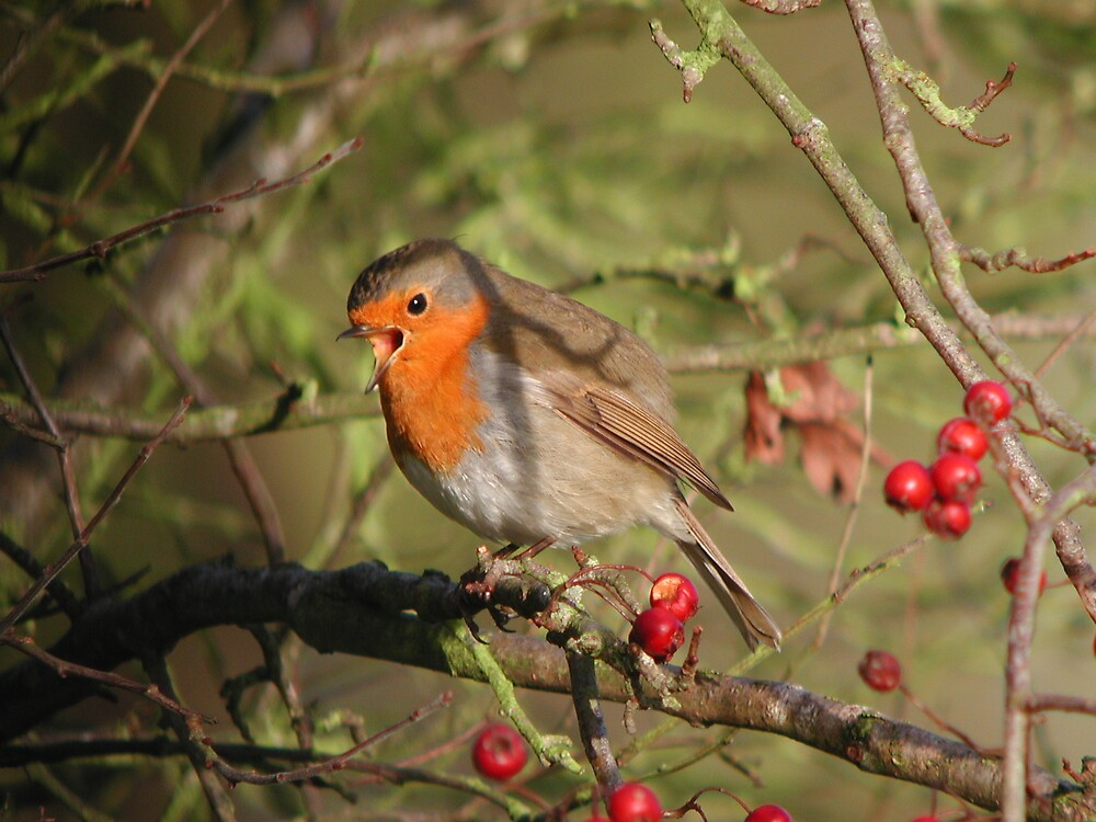 Robin Red-breast by Monster