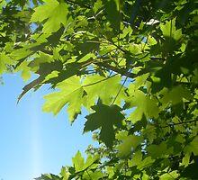Maple leaves by Jesse Hamilton