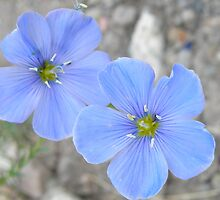Blue flowers by Jesse Hamilton