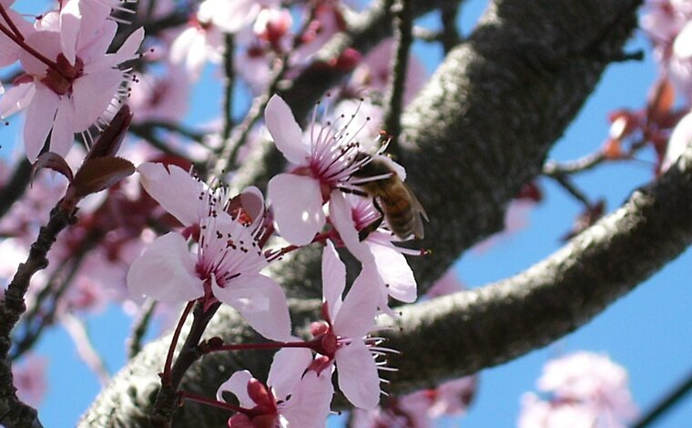 Bee in Cherry Blossoms by Adelia