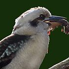 Hungry Kookaburra by Robyn Carter