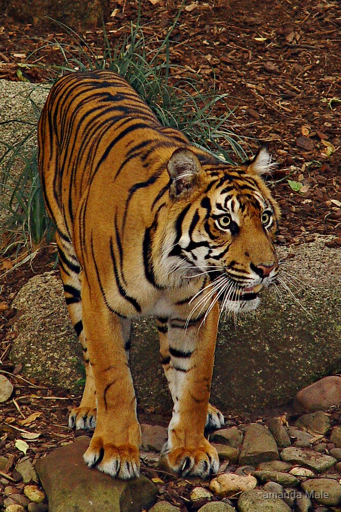 tiger tiger by amanda Male