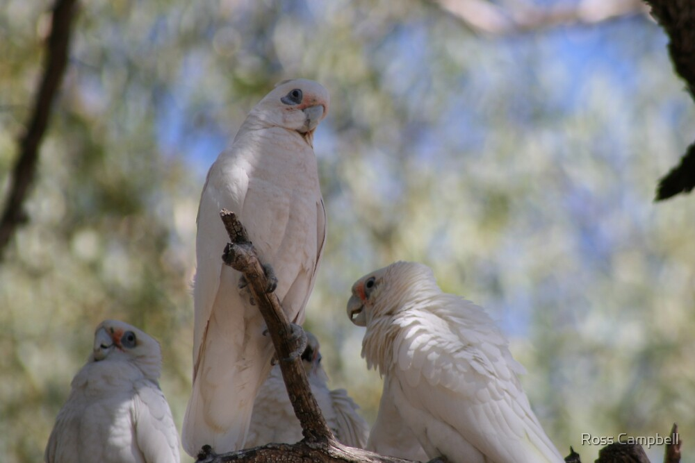Three White Cockatoo's by Ross Campbell