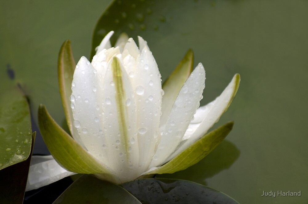 White Water Lily with Raindrops by J Harland