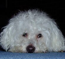 My dog Bosun in a pensive mood by Maureen Smith
