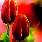 Red Tulips by ©   Elaine van Dyk