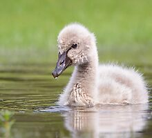 Cygnet in a puddle by Jennie  Stock