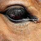 Horse's Eye  by HelenBanham
