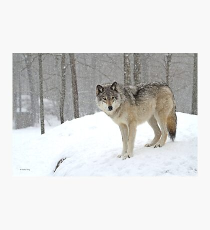A lone wolf Photographic Print