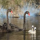 Black swan family by Jennie  Stock