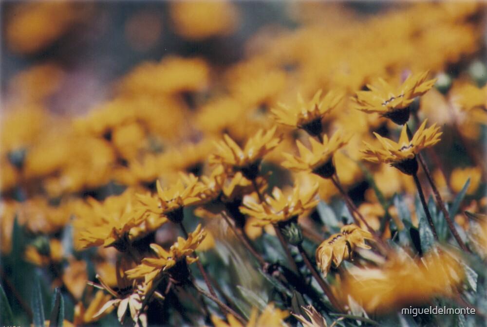 Daisy field by migueldelmonte