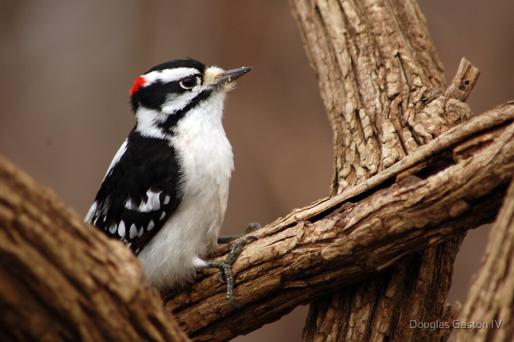 Woodpecker by Douglas Gaston IV