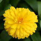 Yellow Chrysanthemum IV by Gary L   Suddath
