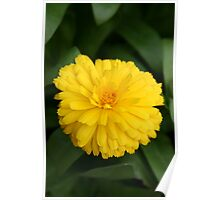 Yellow Chrysanthemum IV Poster