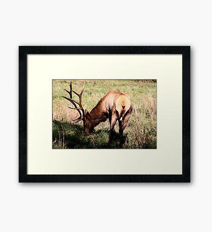 Royal Bull Elk II Framed Print