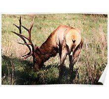 Royal Bull Elk II Poster