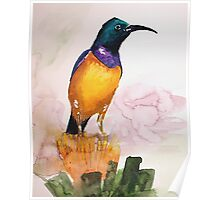 Orange-breasted Sunbird (Nectarinia violacea) Poster
