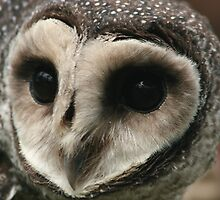 Lesser Sooty Owl by minniemanx