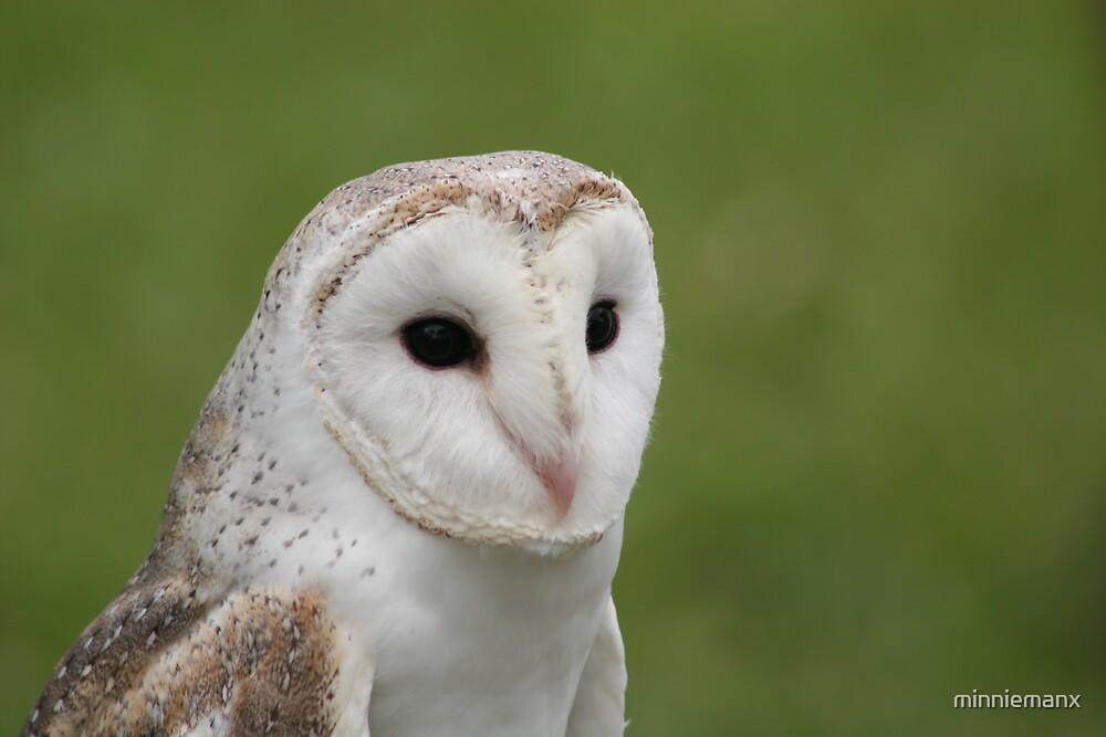 Barn Owl by minniemanx