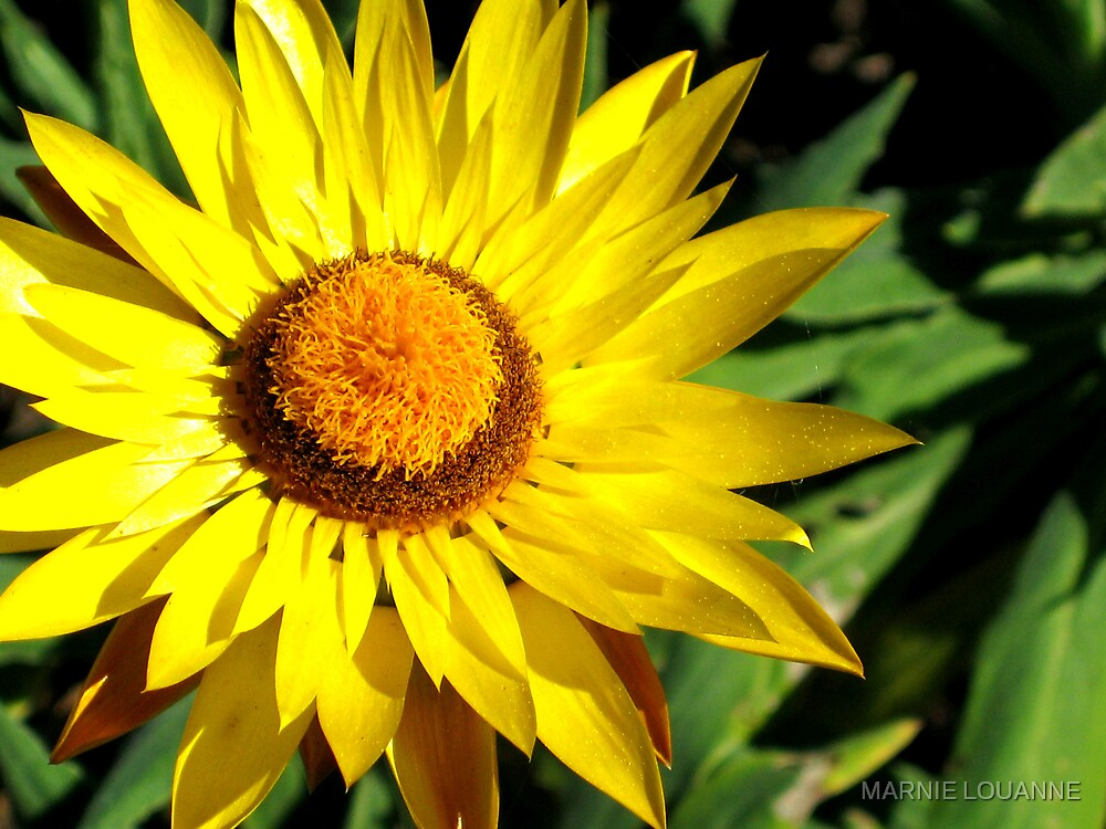 Sunshine II by MARNIE LOUANNE
