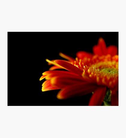 Crizanteme Photographic Print