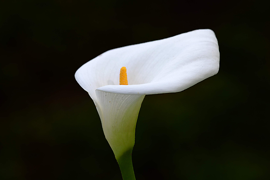 Lily  by EOS20