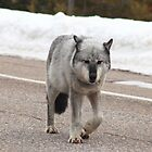 Grey wolf on road by zumi