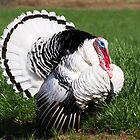 Royal Palm Turkey Tom by Kenneth Keifer