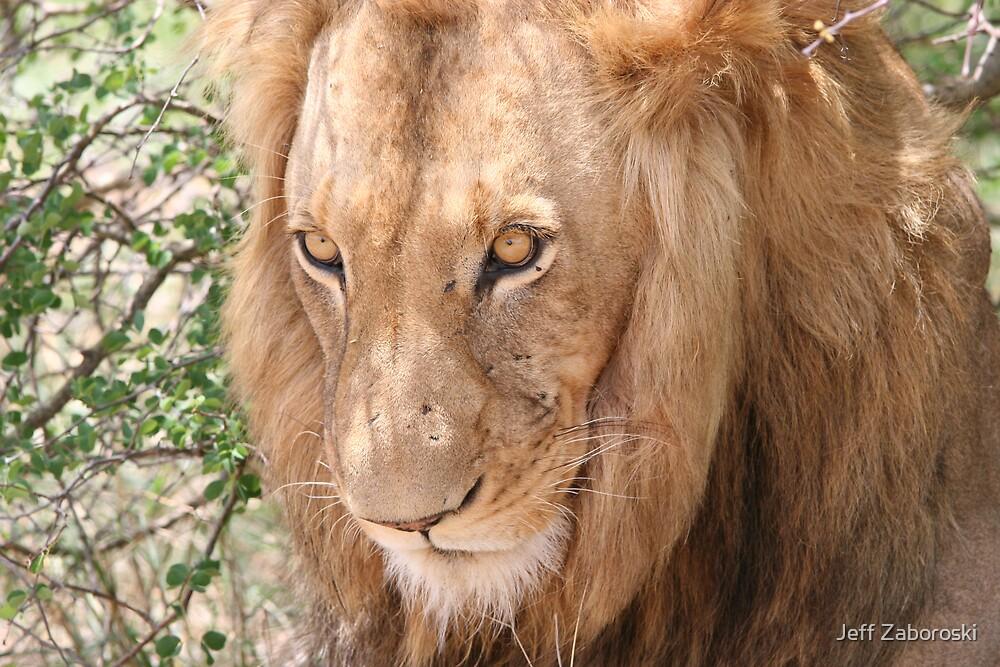 Lion Stare by Jeff Zaboroski