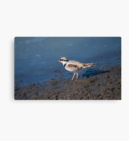 Black-fronted Dotterel Canvas Print