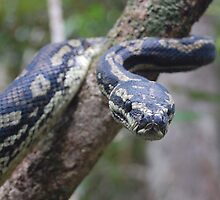 carpet python snake reptile by Amelia Lemmon