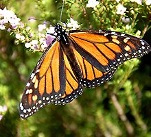 Monarch butterfly by patapping