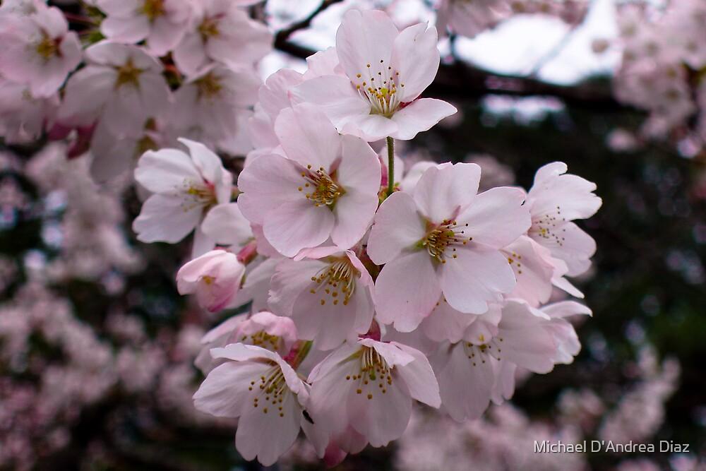 Cherry Blossoms by Michael D'Andrea Diaz
