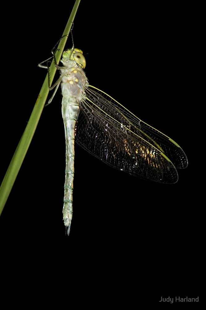 Emerging Dragonfly by J Harland